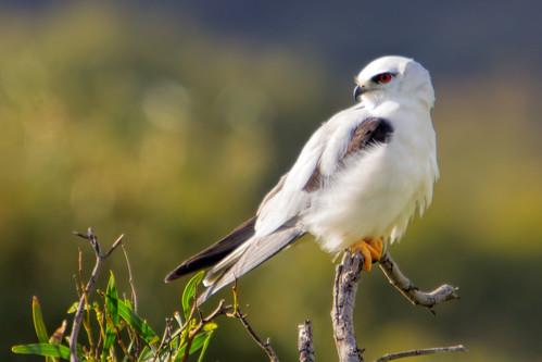 Black-shouldered Kite 2013-06-18 (_MG_1148)