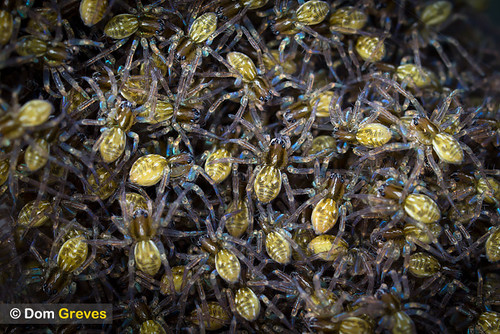 Raft spider hatchlings