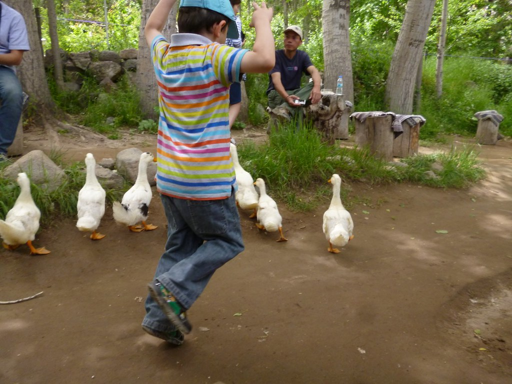 Boy chases duck