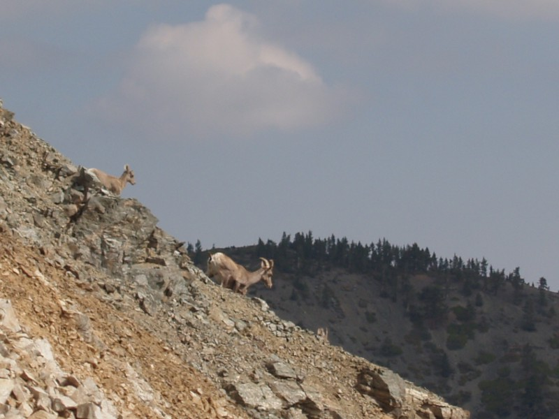 We also got lucky and saw a pair of Bighorn Sheep!