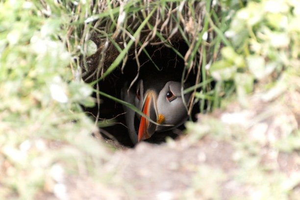Puffin safe in it's burrow