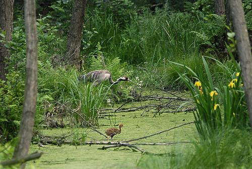 Common Crane (Grus grus) by Szczur