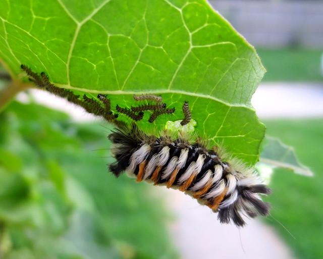 milkweed tussock/milkweed tiger moth caterpillar...and babies