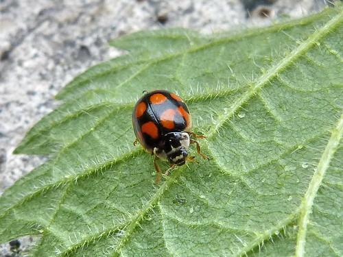 Adalia decempunctata f. decempustulatus (10-Spot Ladybird) Tophill Low NR, East Yorkshire 2013