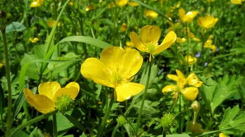 Flowering gold