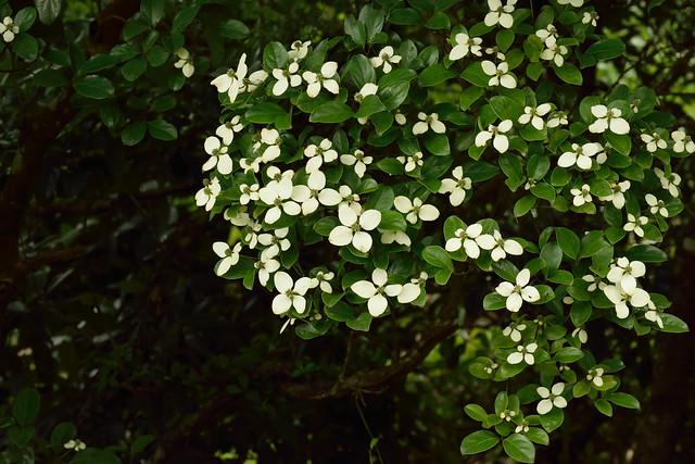 Cornus hongkongensis 香港四照花