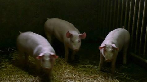 Three little piglets