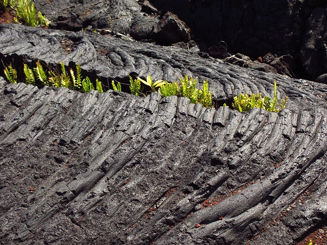 ferns in lava