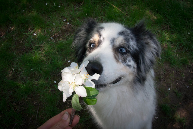 Jack Stops to Smell the Apple Blossoms