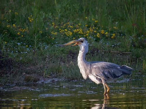 Grey Heron - swallowing eel