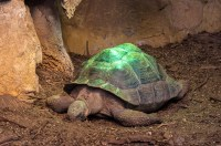 Ancient Tortoise basking under the heat lamp | Flickr ...