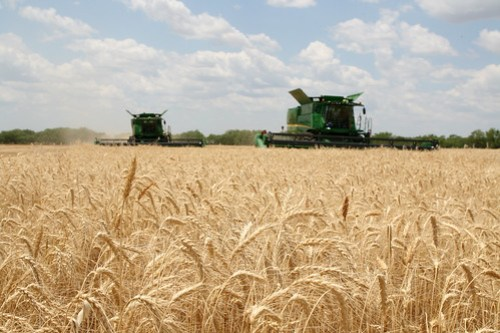 Two combines cutting in Olney TX