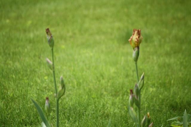 irises soon!