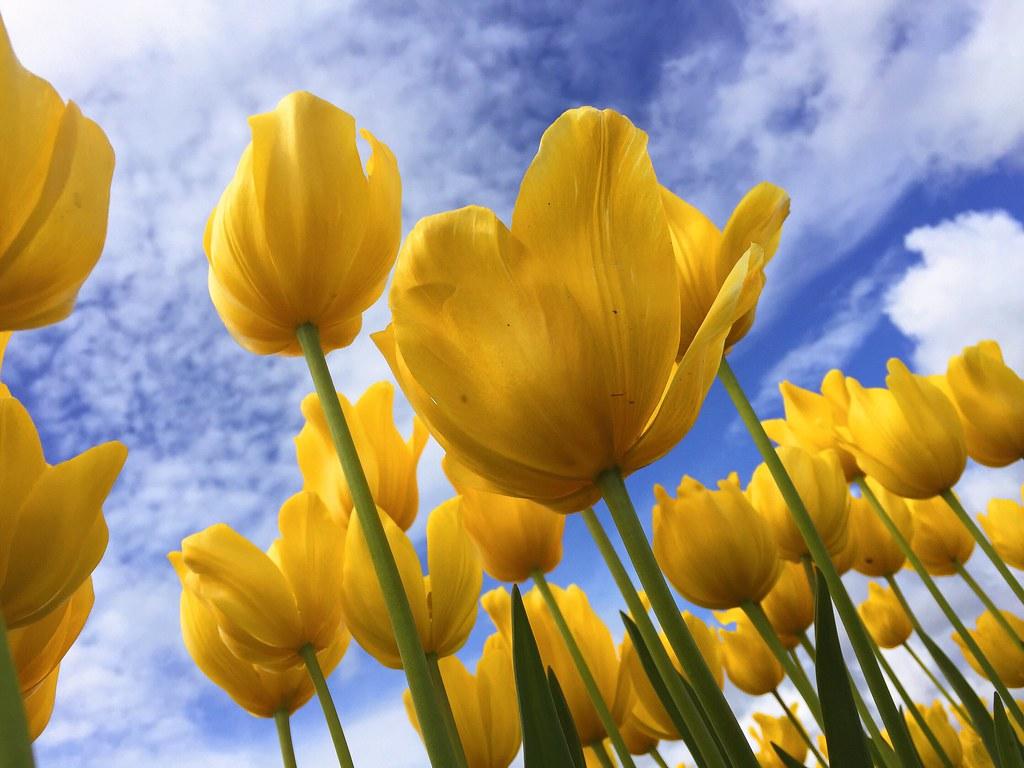 Imagen gratis de tulipanes amarillos