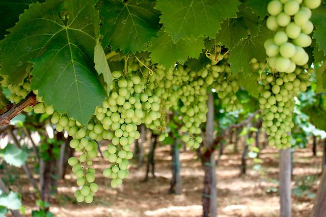 Puglia Grapes