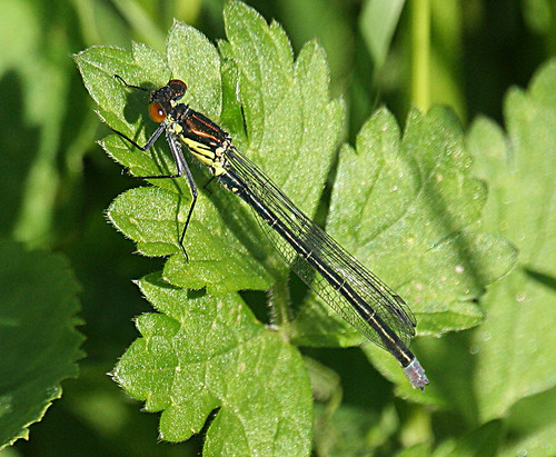 Red-eyed Damselfly Erythromma najas Tophill Low NR, East Yorkshire June 2013