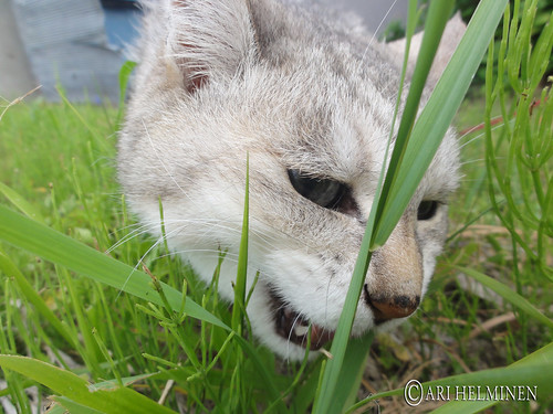 Chibi, grass hunting