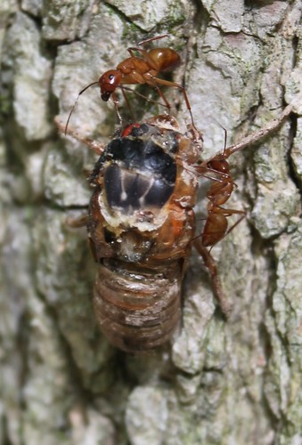 Memorial Day 2013 - Ants Eat Cicada 1 - Cropped