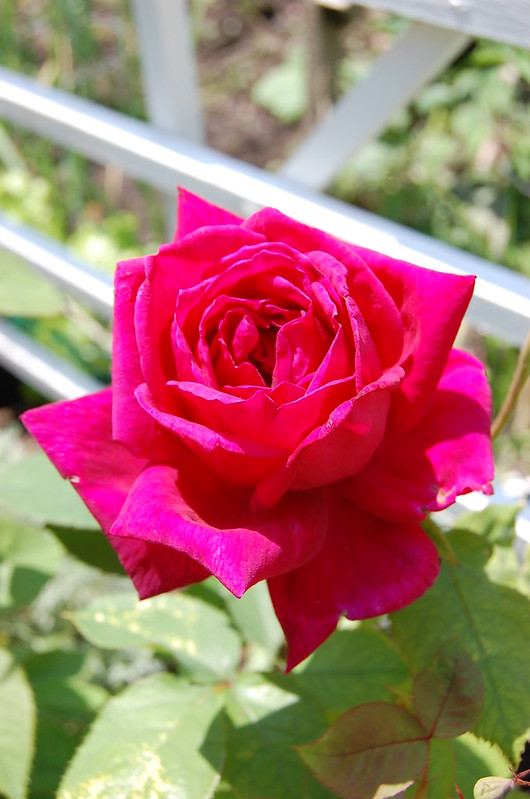 Roses 3013 (3)