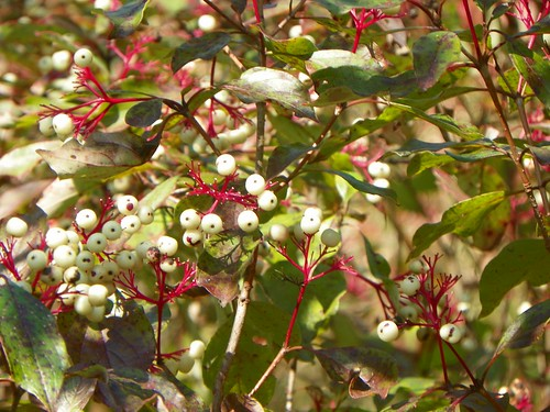 Dogwood berries (Cornus sp)