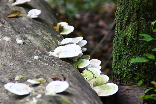 Shelf fungi close up