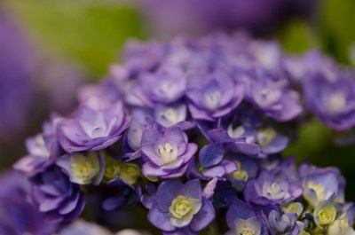 double lavender hydrangea flowers