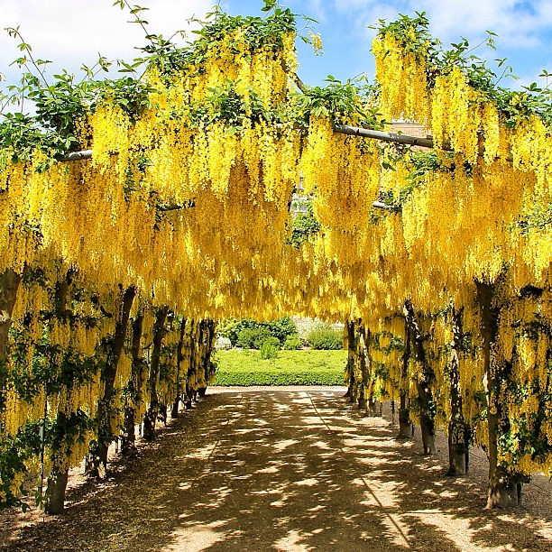 Yellow Wisteria Boulevard Templenewsam Carl Milner