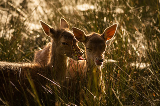 Fawns after Dawn