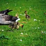 Goslings2