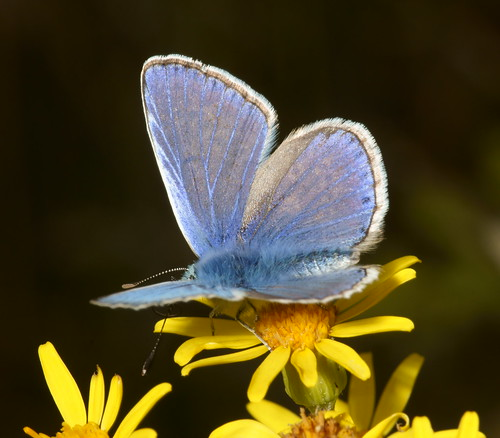 Common Blue (Polyommatus icarus), m