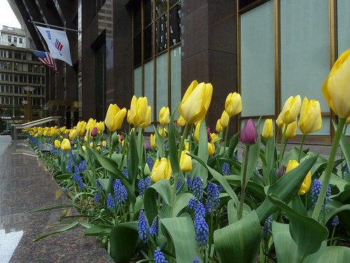 Tulips in Boston MA