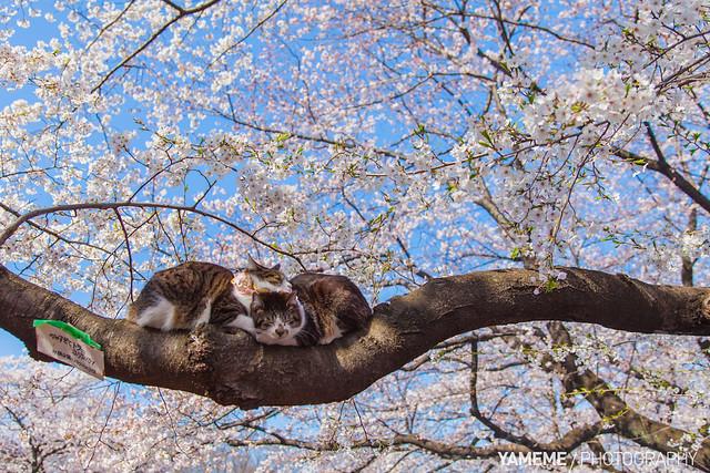 美景當前貓照睡 Ueno Park / Tokyo, Japan