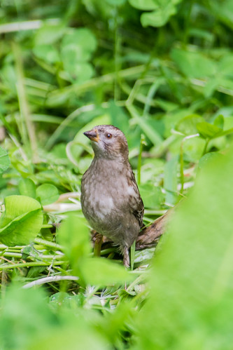 Plain Mountain Finch