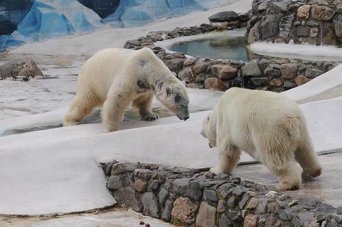 Eisbären Tim und Blanche in der Monde Sauvage Safari in Aywaille