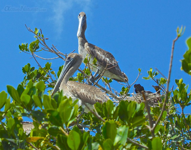 pelican 0001 mangroves, Progreso, Yucatan, Mexico