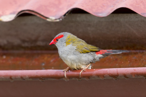 Red-browed Firetail 2013-05-27 (_MG_1087)