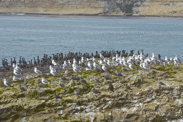 gulls and cormorants 0000 4 Mile Beach, CA, USA