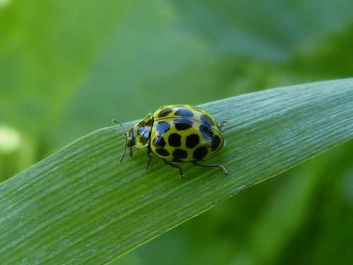 Psyllobora vigintiduopunctata (22-spot Ladybird) Tophill Low NR, East Yorkshire 2013