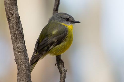 Eastern Yellow Robin 2013-09-29 (_MG_2144)