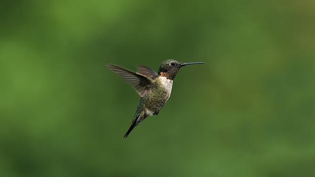 Male Hummingbird in Flight_DSC4548