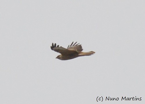 Long-legged Buzzard Buteo rufinus cirtensis Cabranosa, Sagres, Portugal October 2013