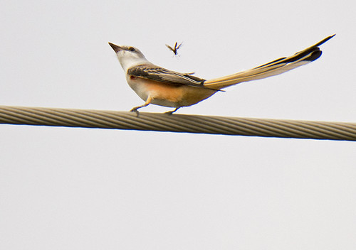 TX: Scissor-tailed Flycatcher Smells a Dragonfly