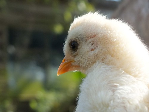 Fluffy chick at about two weeks old. Image ©Hannah Sterry 2012