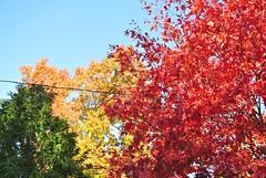 Arborvitae, oak, maple