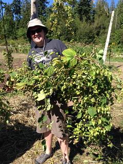 Picking Hops at UBC Farm