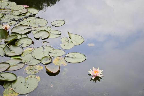 June26-Waterlilies1