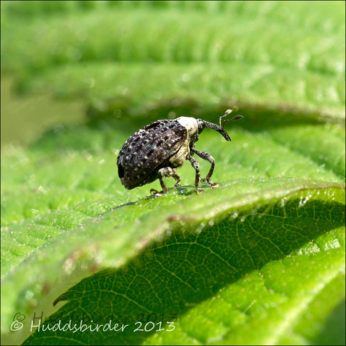Figwort Weevil [Cionus scrophulariae]