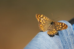 Butterfly at trousers