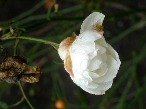Weiße Rose im Dezember