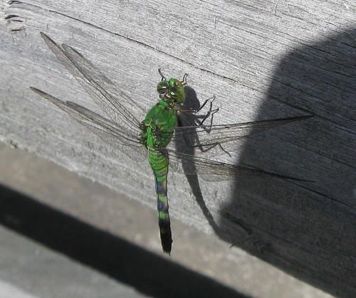 Dragonfly, Blackstone River Bikeway
